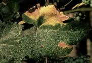 Diseased grape leaf